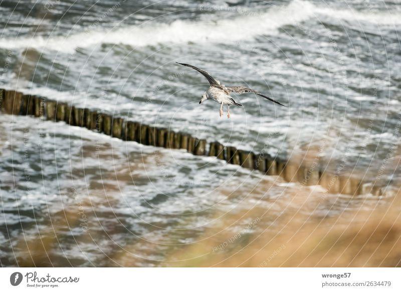 Sturmvogel Umwelt Natur Tier Wasser Herbst Wind Wellen Küste Ostsee Wildtier Vogel Möwe 1 fliegen maritim braun grau fliegend Querformat Buhne Brandung Farbfoto