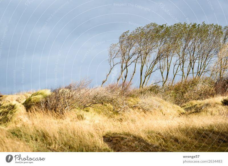 Dünenwald Natur Herbst Schönes Wetter Wind Sturm Baum Gras Dünengras Küste Ostsee Stranddüne Darß blau gelb grau herbstlich Fischland-Darß-Zingst Farbfoto