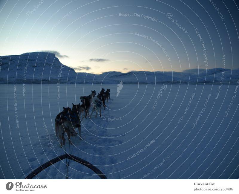 Into the Blue Hund Natur Landschaft Einsamkeit ruhig Tier Winter Schnee Eis Tiergruppe Abenteuer Frost fahren Schneebedeckte Gipfel rennen harmonisch