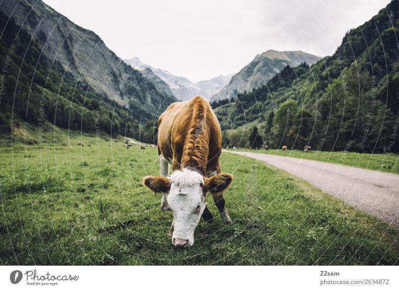 Allgäu / Trettlachtal / E5 Abenteuer wandern Natur Landschaft Gewitterwolken Wetter Wiese Alpen Berge u. Gebirge Kuh Fressen stehen natürlich braun grün ruhig
