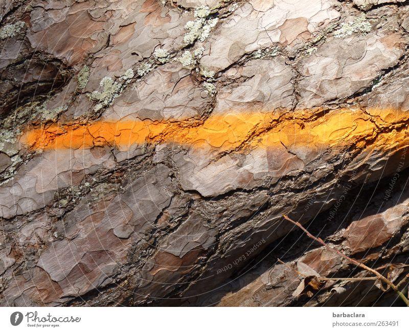 gestreift steht ihm gut Baum Farbe Wald Umwelt Holz Linie braun natürlich ästhetisch Streifen Zeichen Baumrinde Nutzpflanze