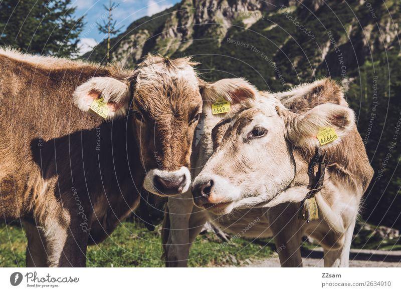 Österreichische Kühe Abenteuer wandern Natur Landschaft Alpen Berge u. Gebirge Tier Kuh 2 Kommunizieren stehen Neugier braun Sympathie Freundschaft Zusammensein