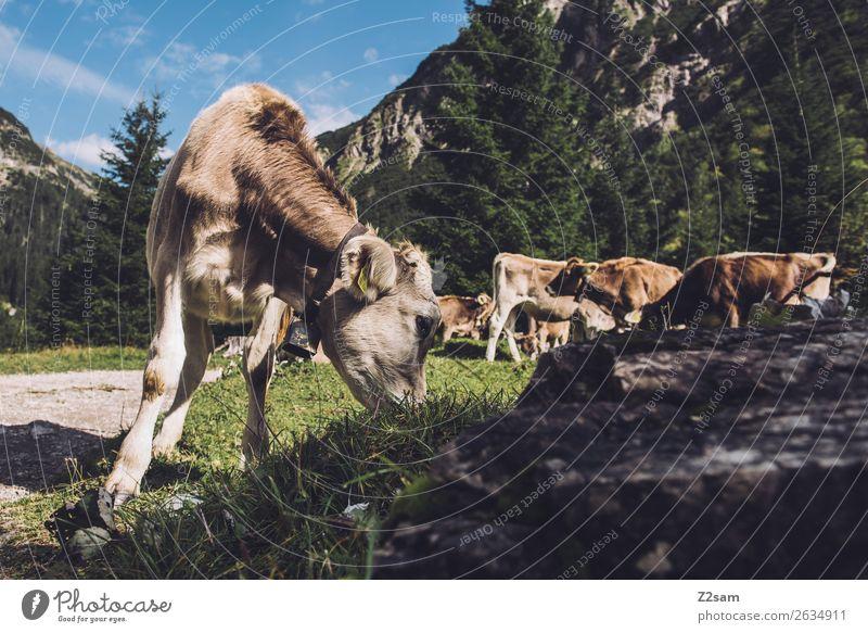 Kühe in den Lechtaler Alpen Abenteuer wandern Natur Landschaft Wiese Berge u. Gebirge Nutztier Kuh 4 Tier Herde Fressen natürlich grün Zusammensein ruhig