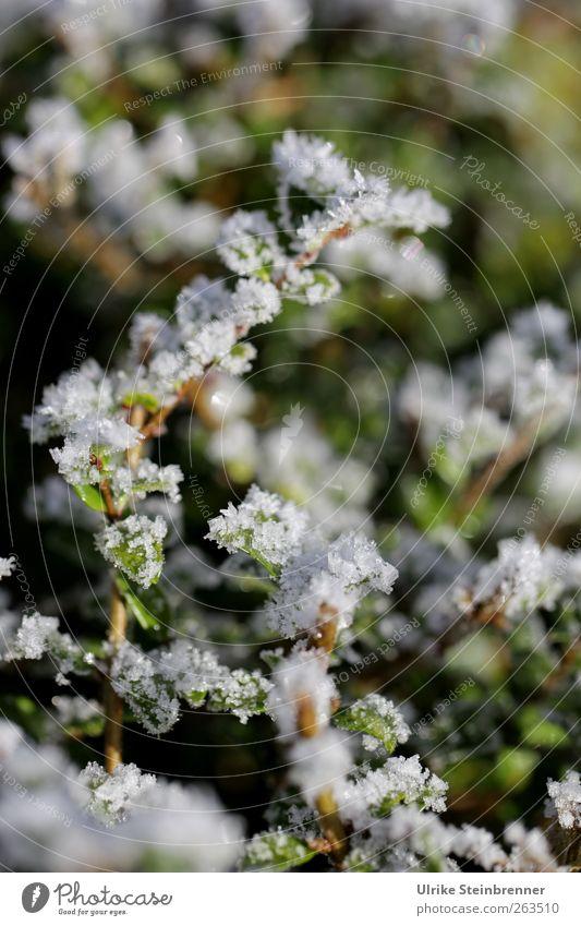 Letzte Reste Umwelt Natur Pflanze Wasser Frühling Winter Eis Frost Sträucher Blatt glänzend kalt nass natürlich grün Raureif Eiskristall Kristallstrukturen