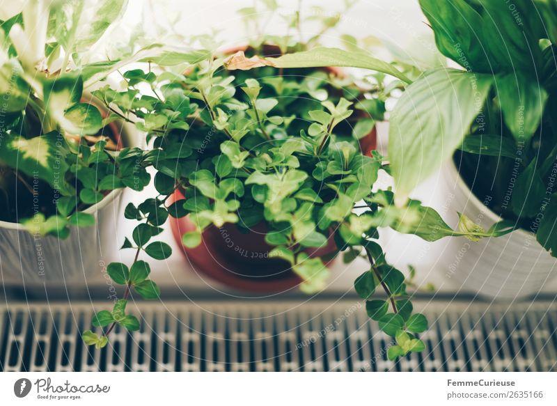 Green plants in the windowsill Pflanze Häusliches Leben Dekoration & Verzierung Grünpflanze Blumentopf Fensterbrett Heizkörper wohnlich einrichten Farbfoto