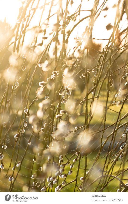 Weidenkatze Umwelt Natur Pflanze Sonnenlicht Frühling Klima Wetter Schönes Wetter Sträucher Hecke Weidenkätzchen Farbfoto Außenaufnahme Nahaufnahme