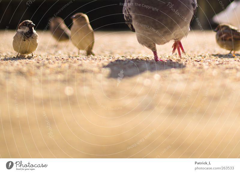 zwischen Tauben und Spatzen Tier Sand lustig Vogel gehen Wildtier außergewöhnlich mehrere Taube Krallen Spatz gefiedert Tierfamilie Größenunterschied