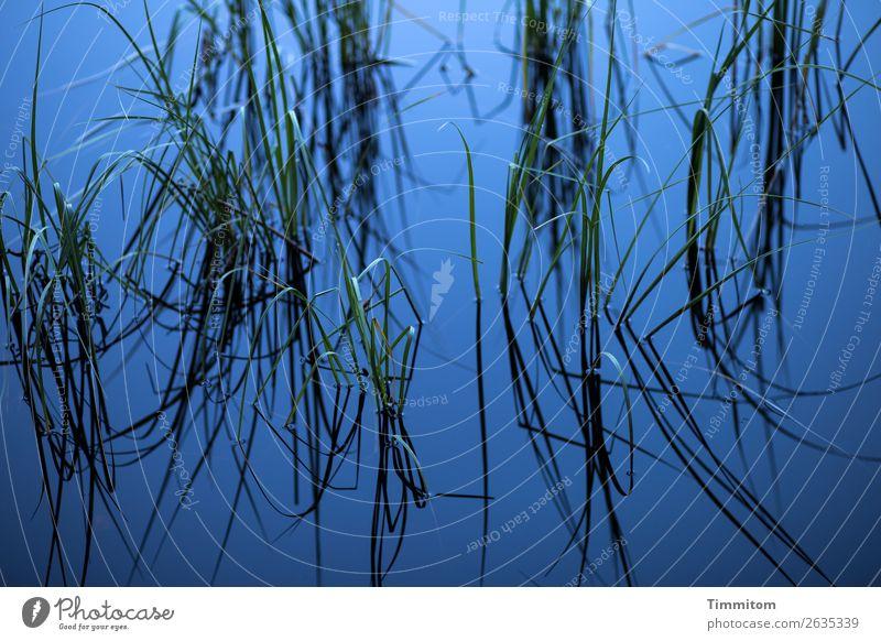 Blauer See mit Halmen Umwelt Natur Urelemente Wasser Pflanze Binsen Seeufer Wachstum ästhetisch natürlich blau grün schwarz Gefühle Erholung ruhig