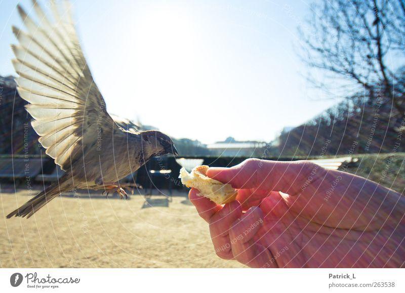 Vogelperspektive Himmel Hand Tier fliegen Feder Flügel Momentaufnahme Schweben Fressen ködern füttern fliegend Spatz Tierliebe Vogelflug