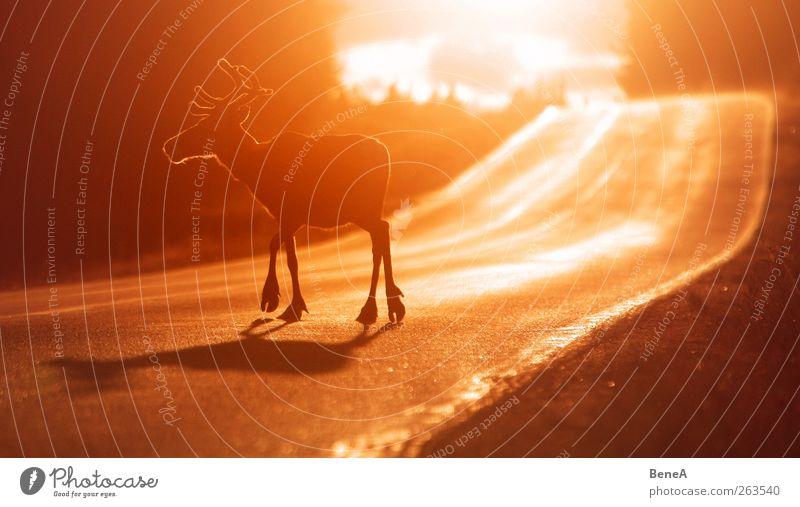 Rentier Natur rot Tier gelb Umwelt Straße Herbst Bewegung Wege & Pfade gehen Wildtier wandern Risiko Verkehrswege Hirsche Nutztier