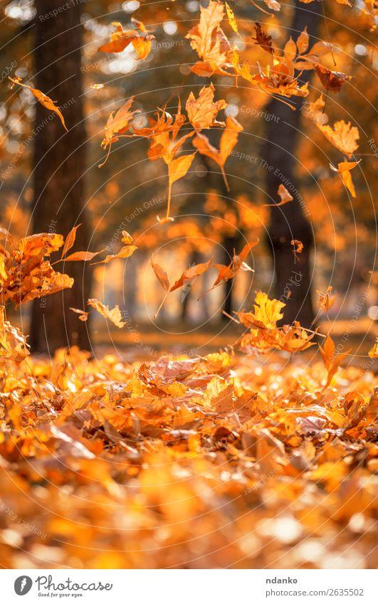 fallende trockene gelbe Ahornblätter auf einem Herbst Sonne Garten Dekoration & Verzierung Umwelt Natur Landschaft Pflanze Baum Blatt Park Wald fliegen hell
