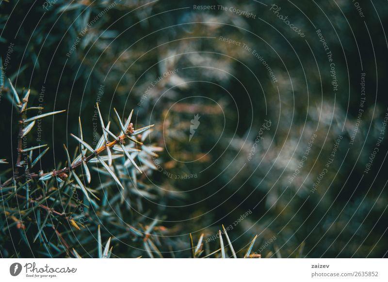 Nahaufnahme der Blätter von Juniperus oxycedrus auf dem Berg Garten Natur Pflanze Baum Sträucher Blatt Park Wald Reinigen natürlich stachelig wild grün Farbe