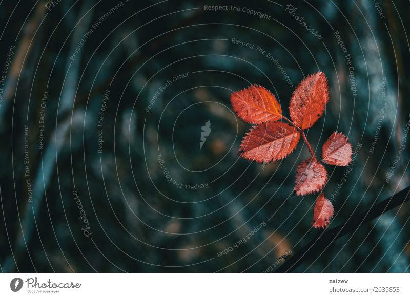 Nahaufnahme der roten Blätter der Rosa rubiginosa auf dem Berg Design Winter Kunst Herbst Baum Blatt alt dunkel retro wild braun gelb gold Farbe rosa rubiginosa