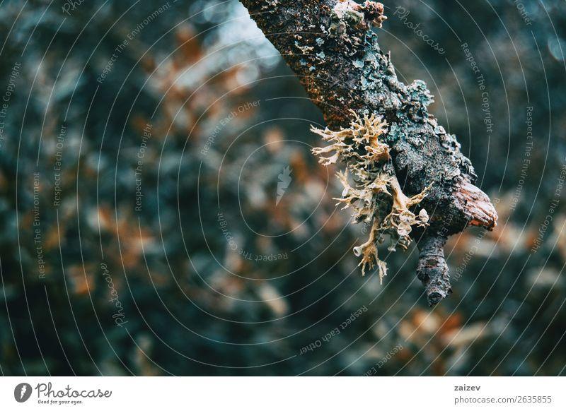 Nahaufnahme einer Hypogymnie in einem Ast auf dem Berg Umwelt Natur Pflanze Herbst Baum Wald Zopf Wachstum klein natürlich wild grau grün Farbe Schlüsselflechte