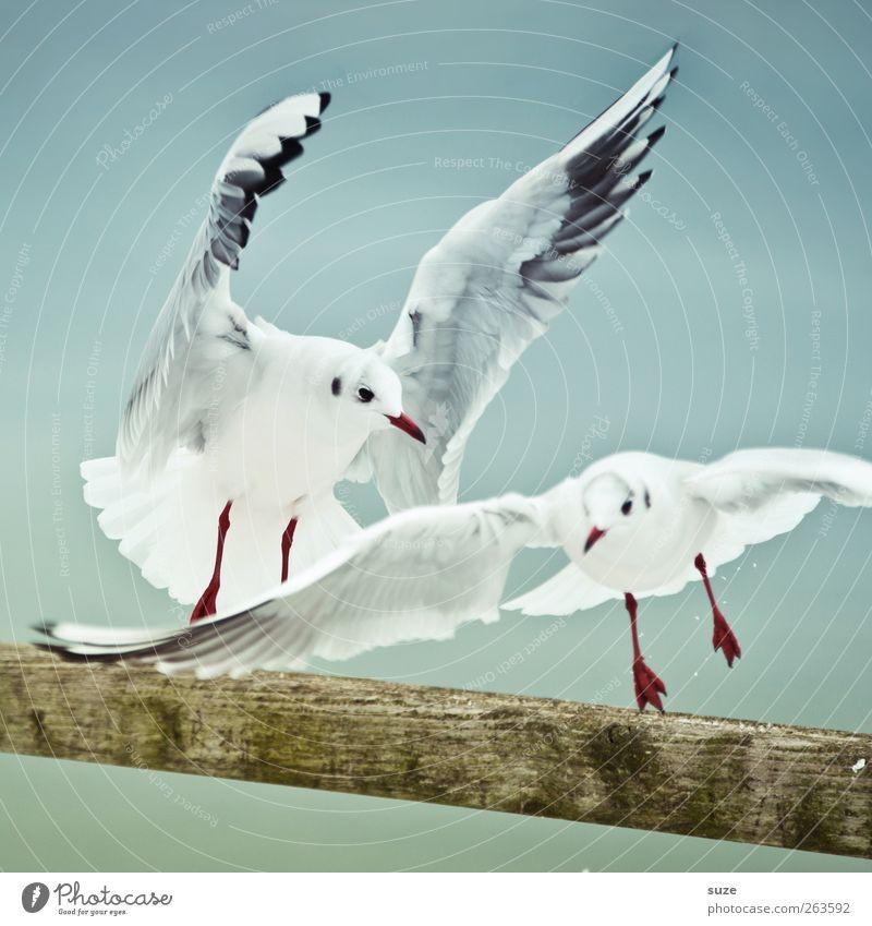 Mövenpicker Tier Holz Luft Vogel Wildtier wild Tierpaar Urelemente Feder Flügel Geländer Konflikt & Streit schreien Möwe tierisch fliegend