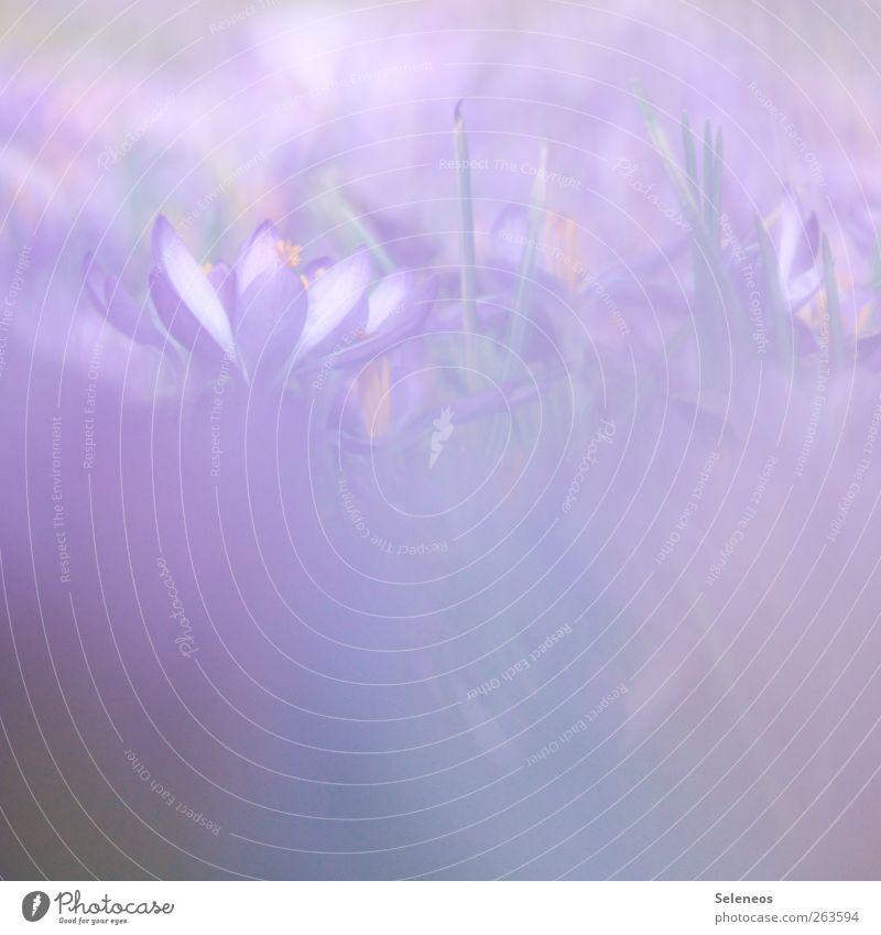 lila. für Mädchen. Umwelt Natur Frühling Schönes Wetter Wärme Pflanze Blume Gras Blüte Krokusse Garten Park Wiese Blühend nah violett Farbfoto Außenaufnahme