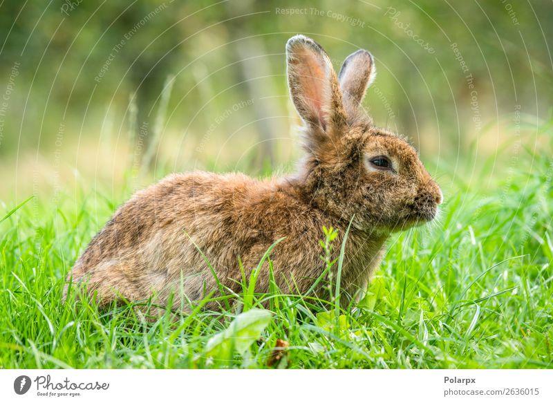 Brauner Osterhase im frischen grünen Gras Essen schön Jagd Sommer Sonne Garten Ostern Baby Natur Tier Wiese Pelzmantel Haustier klein niedlich wild braun grau