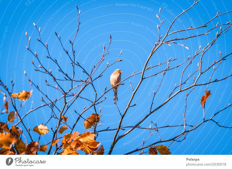 Einzelner Fink in einer Baumkrone im Herbst schön Leben Mann Erwachsene Umwelt Natur Tier Himmel Park Wald Vogel sitzen hell klein natürlich niedlich wild braun