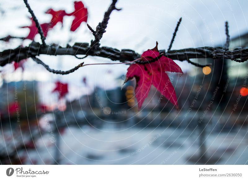 Roter Ahorn in der Hafencity Himmel Natur Pflanze blau Stadt rot Baum Einsamkeit Blatt Herbst Umwelt kalt Tod grau elegant Glas