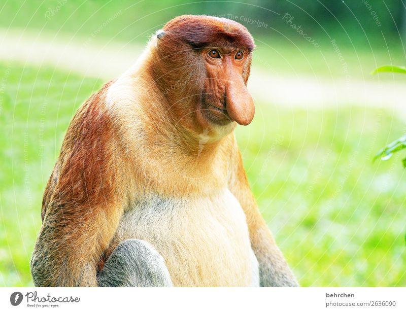 lange nase, dicker bauch | alterserscheinungen Ferien & Urlaub & Reisen Tier Ferne Tourismus außergewöhnlich Freiheit Ausflug Wildtier Abenteuer fantastisch