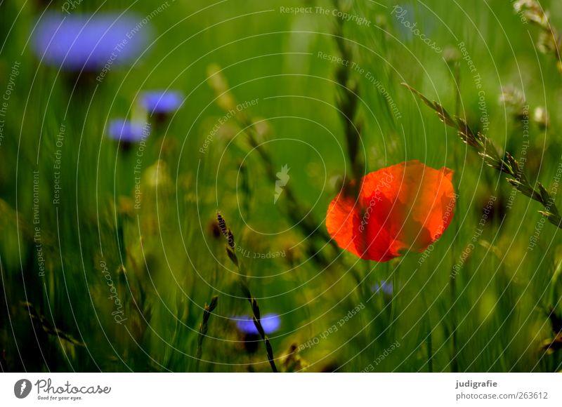 Sommer Umwelt Natur Pflanze Blume Gras Blüte Wildpflanze Wiese Wachstum wild mehrfarbig grün rot Duft Idylle Mohn Kornblume Farbfoto Außenaufnahme Nahaufnahme