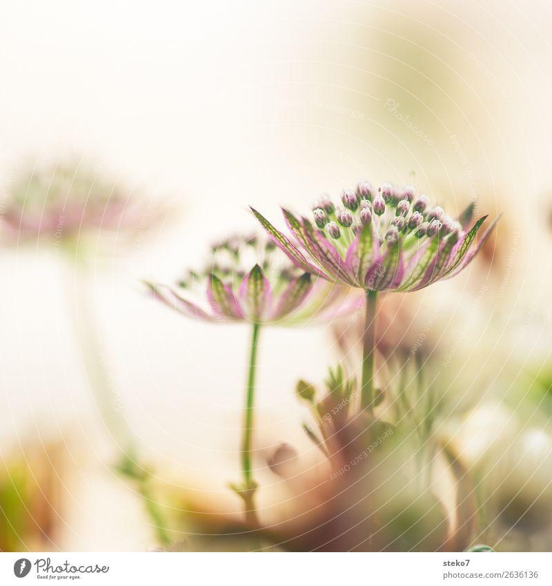 zarte Blüten Blume grün violett weiß zerbrechlich Unschärfe dezent Blütenknospen Zierlauch Gedeckte Farben Nahaufnahme Menschenleer Textfreiraum oben