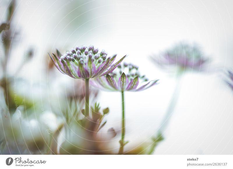 zarte Blüten Blume Zierlauch grün violett weiß zerbrechlich dezent Wiesenblume Gedeckte Farben Makroaufnahme Menschenleer Textfreiraum rechts Textfreiraum oben