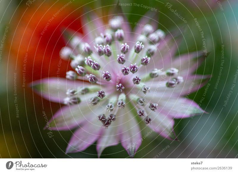 Zarte Blüte Zierlauch grün violett orange rosa weiß zart zerbrechlich Symmetrie Blütenstempel Makroaufnahme Menschenleer Textfreiraum links Textfreiraum rechts