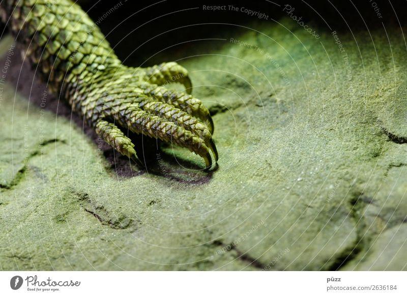 Grüne Kralle Umwelt Natur Tier Wildtier Schuppen Krallen Zoo Terrarium 1 exotisch natürlich Wärme wild grün Abenteuer Farbe Echsen Echte Eidechsen Bart-Agame