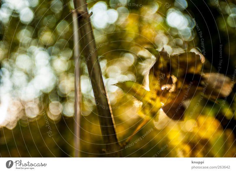 Blattgold Natur grün Baum Pflanze Sonne Blatt schwarz gelb Herbst gold glänzend Gold leuchten Schönes Wetter Herbstlaub