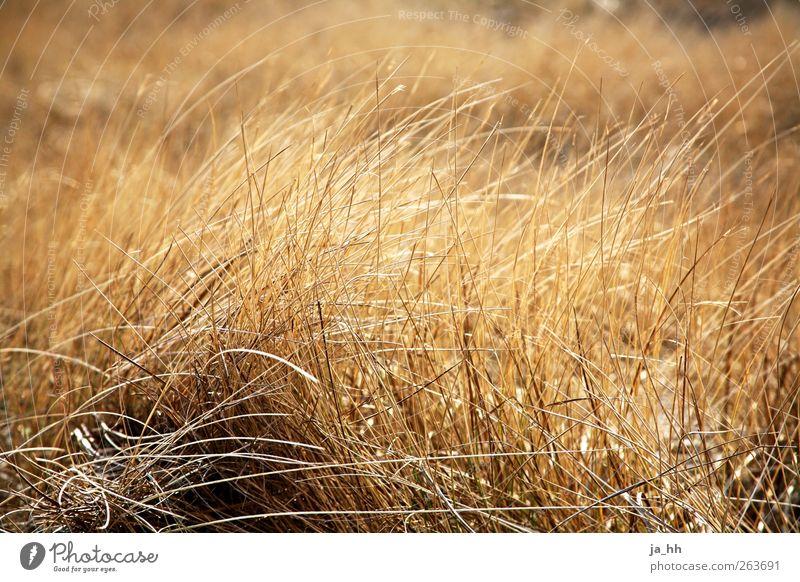 Nordsee IV Wind Erholung Ostsee Gezeiten Ebbe Flut Strand Sturm rascheln Rauschen Halm Gras Gegenlicht Silhouette Strandhafer Dünengras Getreide Feld Ernte
