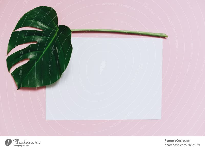 White sheet of paper & the leaf of a monstera on pink background Natur Pflanze weiß Blatt rosa Kreativität leer Papier Schreibwaren Pastellton Pflanzenteile