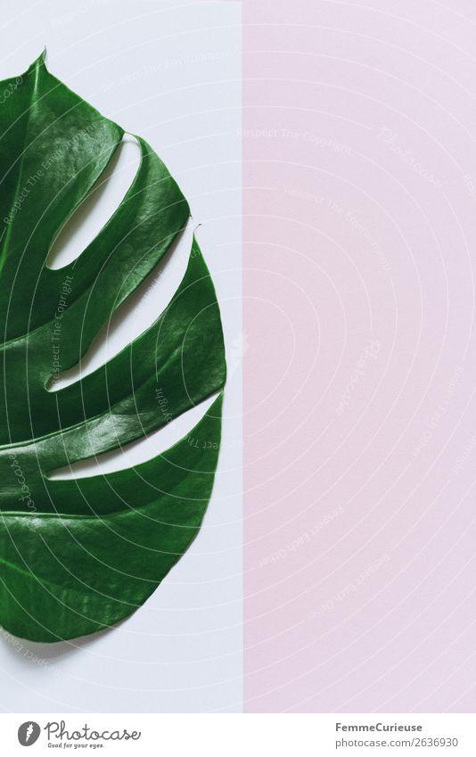 Monstera leaf on white and pink background Natur Pflanze weiß Blatt rosa Dekoration & Verzierung Kreativität Papier Zettel Schreibwaren Pflanzenteile