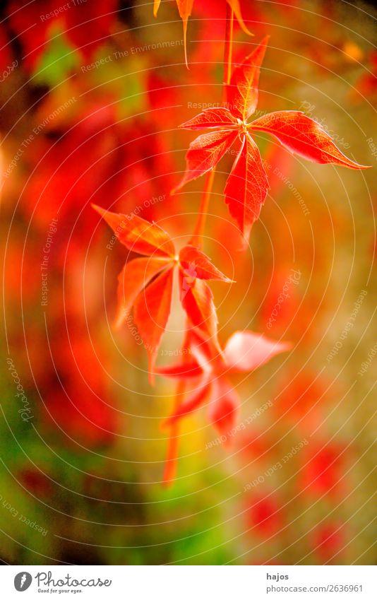 wilder Wein in Herbstfarben Natur Pflanze Blatt Mauer Wand mehrfarbig grün rot Herbstlaub herbstlich Herbstfärbung bunt schön zart romantisch Jahreszeiten