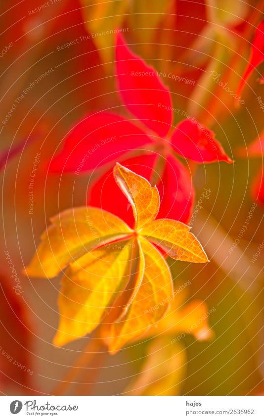 wilder Wein in Herbstfarben Natur Pflanze Mauer Wand gelb rosa rot Wilder Wein herbstlich gefärbt Jahreszeit bunt Nahaufnahme Blatt Tiefenschärfe gering