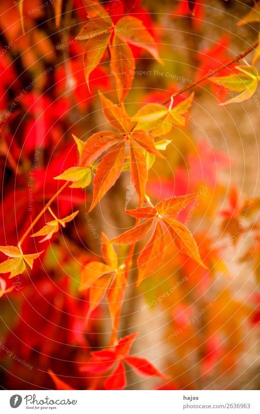 wilder wein in Herbstfarben Natur Pflanze Mauer Wand rosa rot Wilder Wein Blätter verfärbt gelb herbstlich bunt strahlend sonnig leuchtend Jahreszeit Farbfoto