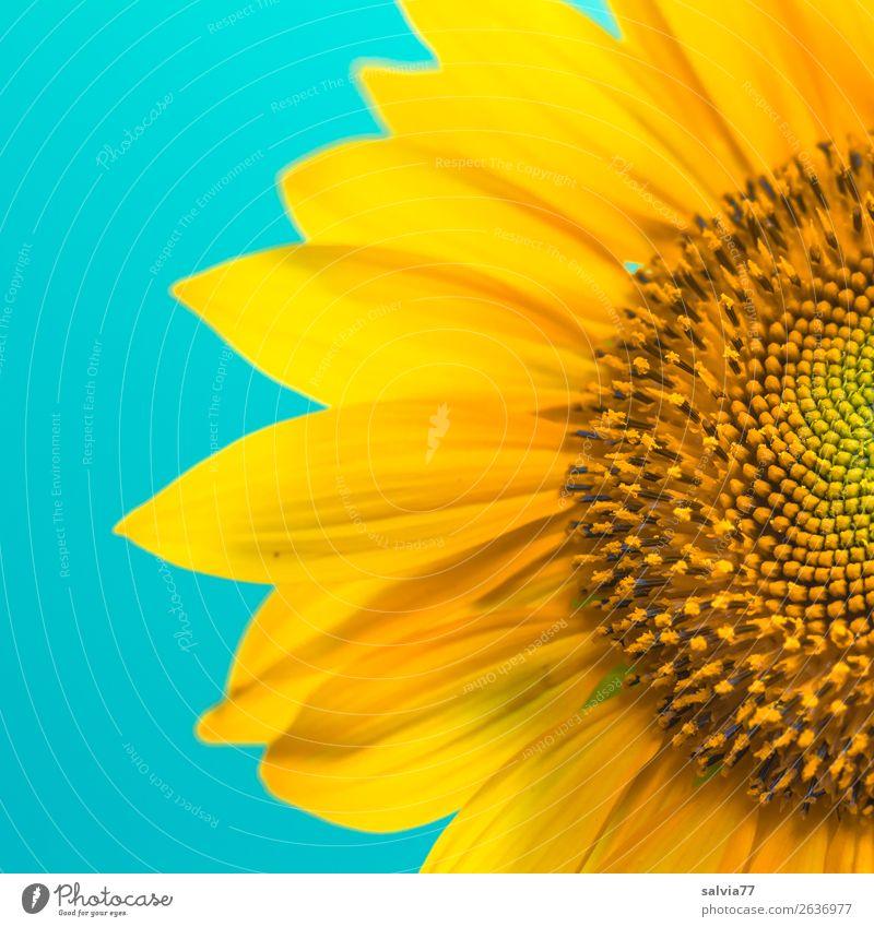Sonnengruß Umwelt Sommer Pflanze Blume Blüte Nutzpflanze Sonnenblume Garten Blühend Duft ästhetisch positiv schön Wärme blau gelb Design Farbe Kontrast