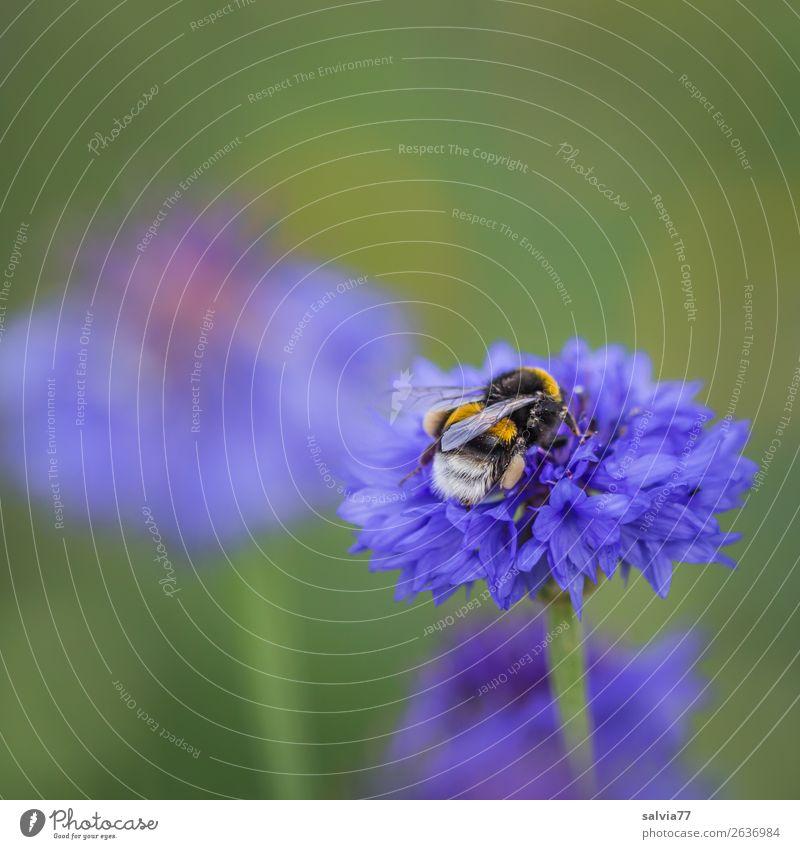 fleißige Erdhummel Umwelt Natur Pflanze Tier Sommer Blume Blüte Kornblume Feld Wildtier Flügel Hummel Insekt 1 Arbeit & Erwerbstätigkeit Blühend Duft natürlich