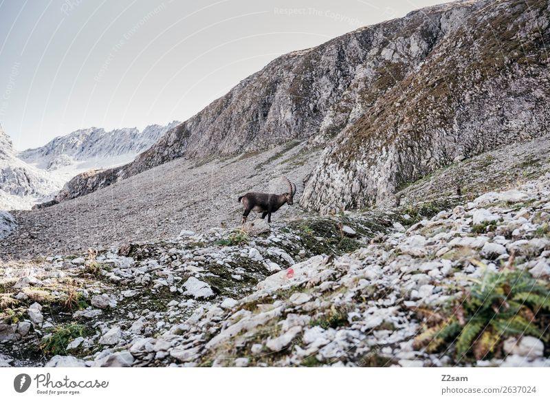 Steinbock | Seescharte am E5 Wanderweg Abenteuer wandern Natur Landschaft Felsen Alpen Berge u. Gebirge 1 Tier Fressen stehen natürlich ruhig Einsamkeit Idylle