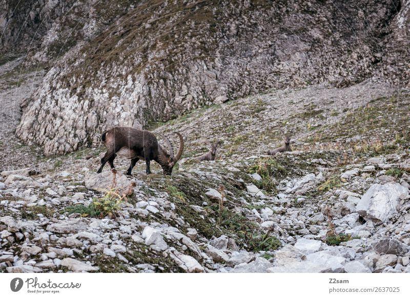 Steinbock | Seescharte E5 Abenteuer Berge u. Gebirge wandern Natur Landschaft Sommer Schönes Wetter Felsen Alpen 1 Tier Fressen stehen natürlich Einsamkeit