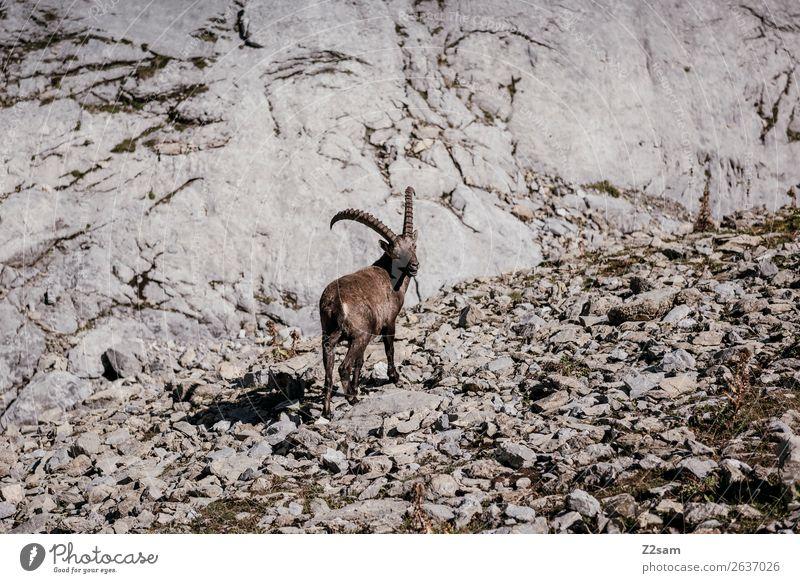 Steinbock | Seescharte Österreich Natur Sommer Landschaft Einsamkeit Tier Berge u. Gebirge Umwelt Felsen wandern Idylle stehen Abenteuer Schönes Wetter Gipfel