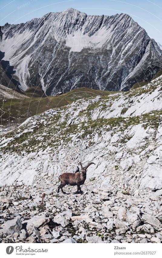 Steinbock auf der Seescharte | E5 Freizeit & Hobby Abenteuer Berge u. Gebirge wandern Natur Landschaft Sommer Schönes Wetter Felsen Alpen natürlich Einsamkeit