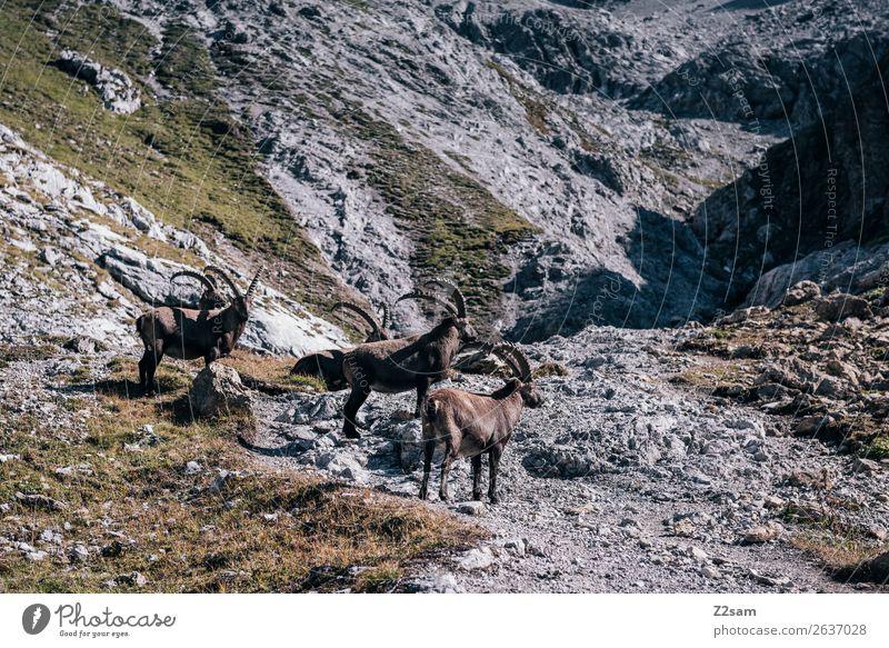 Steinböcke | Seescharte E5 Abenteuer Berge u. Gebirge wandern Natur Landschaft Sommer Felsen Alpen Steinbock 4 Tier Herde Fressen stehen ruhig Einsamkeit Idylle