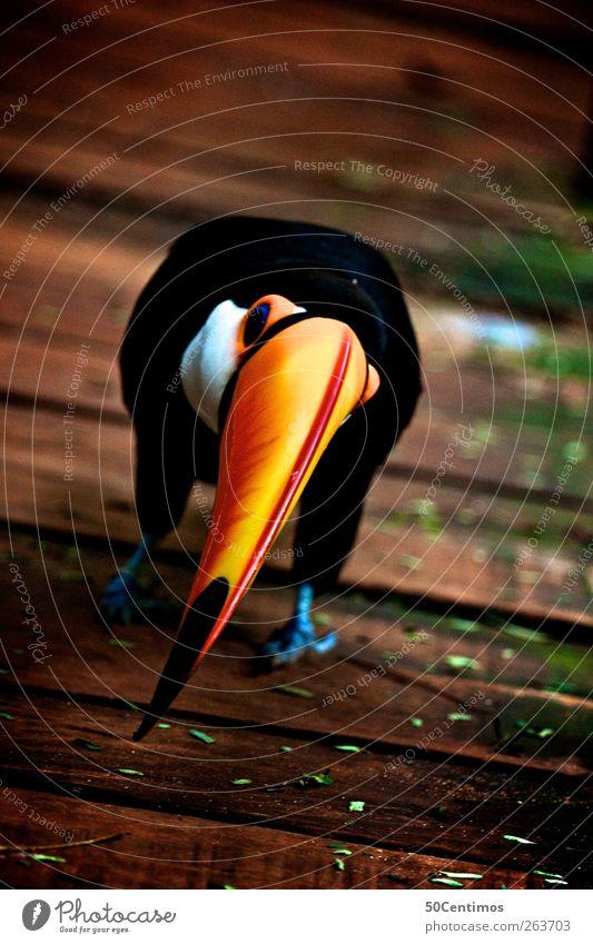 in front of a toucan bird Natur Ferien & Urlaub & Reisen Freude Tier schwarz gelb Umwelt Holz Glück braun Vogel warten Wildtier Beginn lernen bedrohlich