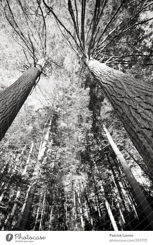 Rising high Natur Baum Pflanze Wald Umwelt hoch ästhetisch Urelemente einzigartig Baumrinde Mittelpunkt