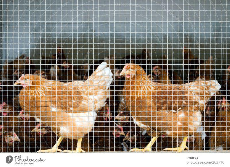 Chicken Nutztier Haushuhn 2 Tier Tiergruppe Käfig Zusammensein Tierzucht einsperren viele Vogel Stall Farbfoto Nahaufnahme Menschenleer Textfreiraum oben