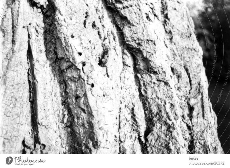 Baumrinde Eiche Schwarzweißfoto