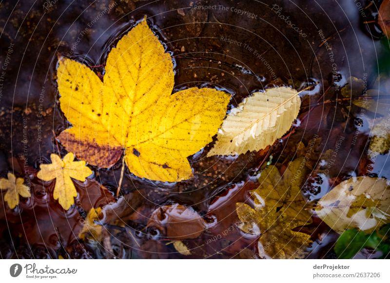 Herbstblätter im Bach Ferien & Urlaub & Reisen Natur Pflanze Wasser Landschaft Tier Blatt dunkel gelb Umwelt Tourismus Ausflug wandern elegant ästhetisch