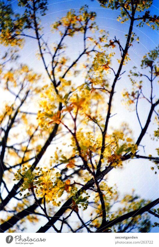 i am not sure if you tell me the truth. Natur blau Baum Pflanze gelb Holz Frühling ästhetisch leuchten Sträucher Schönes Wetter Blühend Duft positiv Wolkenloser Himmel Zweige u. Äste