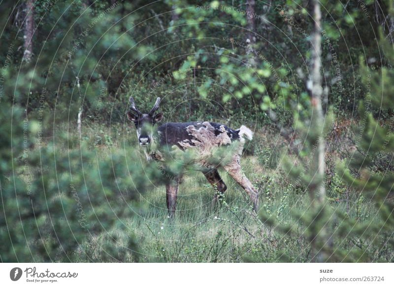 Ich seh dich* Umwelt Natur Tier Urelemente Sträucher Wiese Wald Nutztier Wildtier 1 stehen authentisch natürlich Neugier wild braun grün Rentier Horn freilebend